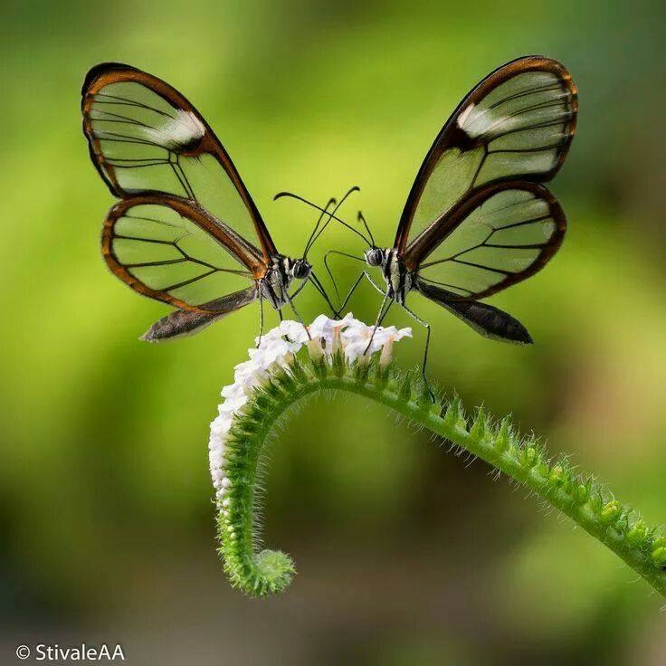 Slide-vlinder